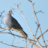 Claravis pretiosa<br /> Pararu-azul<br /> Blue Ground-Dove<br /> Palomita azulada - Jeruti hovy