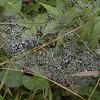 Rain drops on the spiderweb
