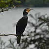 Cormorant with dignified look!