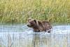 Coastal Brown Bear yearling