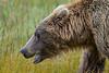 Coastal Brown Bear (Ursus arctos), tidal salt marsh, Silver Salmon Creek area, Lake Clark National Park and Preserve, Alaska