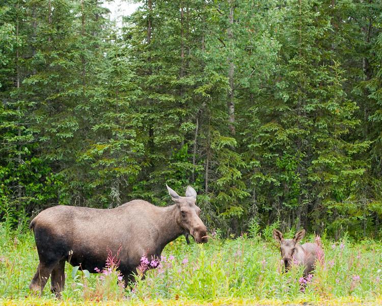Moose and calf along highway in Soldotna, Alaska