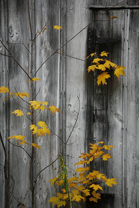 maple leaves and barn, lake erie