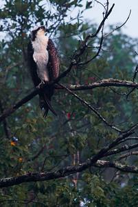 An osprey sits in a tree near Silver Glenn Springs.