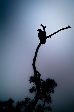 A buzzard sits on a dead tree along the Salt Springs River.