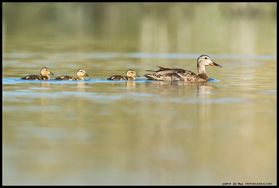 Momma Mallard with three little ones in tow.