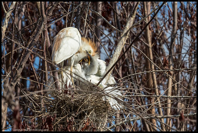Cattle Egret feeding one of the three nestlings.  Getting kind of cramped up there as they get bigger.