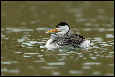 A Clark's Grebe had pulled a feather during a light preening and offered it to one of the chicks.
