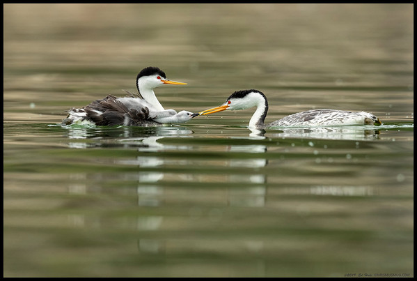 Two Clark's Grebe chicks riding on the back of one parent while the other feeds the lucky one a fish.  It is pretty difficult to tell the male from the female as they both take turns nest sitting and playing taxi to the little ones.