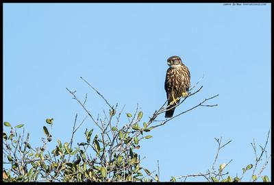 Female Merlin perched atop an oak tree.