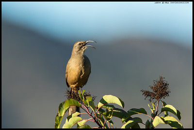 A California Thrasher was belting out some tunes in the early morning light.