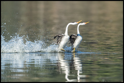 A pair of Clark's Grebes scooting across that water.
