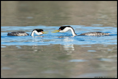 Two of the Western Grebes having a conversation about which direction to rush.