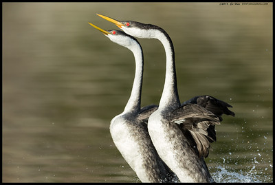 Sometimes the grebes do rush a bit closer than you might like, well if you are shooting with a large prime that is.