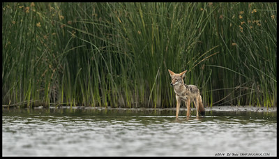 A very overcast morning but Ms. Coyote was out perusing the shoreline and looking at some white pelicans in the distance.