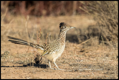 I was pretty happy this road runner took a moment out its day to pose for me on the hillside.