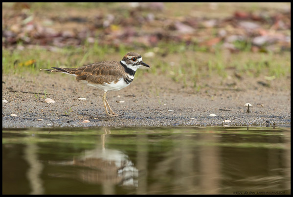 This Killdeer was pretty patient as we slowly drifted toward the beach.  There was also a huge difference apparent from shooting subjects on the water to shooting them on the shore given the heat variable.