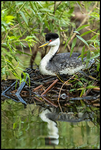 A very accommodating Western Grebe sitting on a nest with three eggs.
