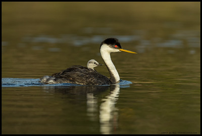 One of the Western Grebe chicks out for a early morning ride.