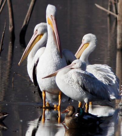 Lake Hodges - birds