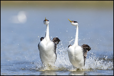 A pair of Western Grebes rushing almost directly towards the boat.