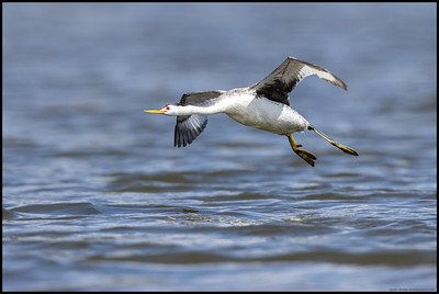 A Clark's Grebe in a low flight over the surface of the lake as the wind picks up.