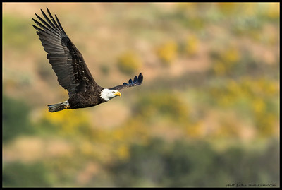 Sub-Adult Bald Eagle flying over Lake Jennings.  Maybe they are sticking around for the entire year this time.
