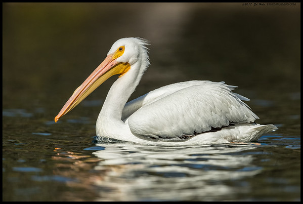 White Pelican with the start of some breeding coloring including the 'hump' on the upper bill.