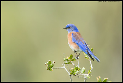 On a hit or miss lighting day, this was one of the Western Bluebirds that perched nearby while searching for snacks.