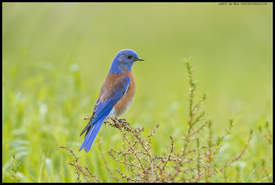 Western Bluebird waiting for a tasty snack to emerge from the grass.