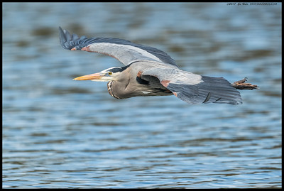 A Great Blue Heron showing some of the breeding coloration as it flew by us back to the nesting area.