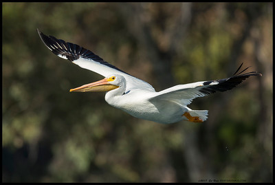 One of the White Pelicans just after takeoff.