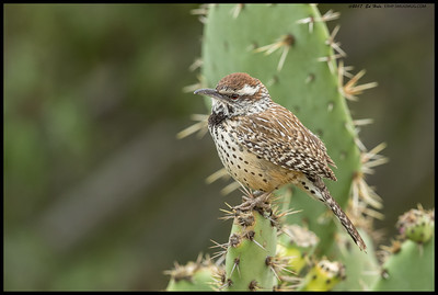 The only unbanded Cactus Wren I've seen in the area.