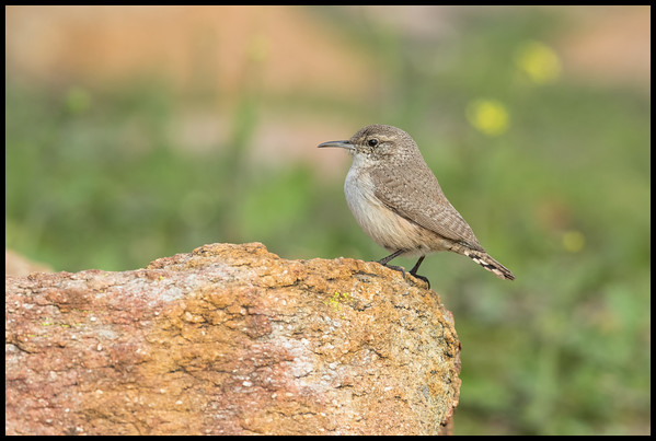 This House Wren seemed to be following me around and paused for a moment on the edge of a large rock.