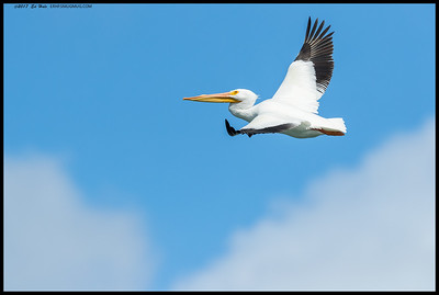 White Pelican soaring above the clouds.