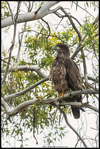 Juvenile Bald Eagle perched in a tree.