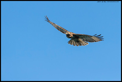 Red Tailed Hawk soaring with appears to be a full crop.