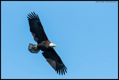 Sub-Adult Bald Eagle flying over the lake.