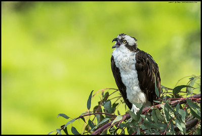 This Osprey had no issues with posing for the camera and would occasionally call out to the other Ospreys as they flew nearby.