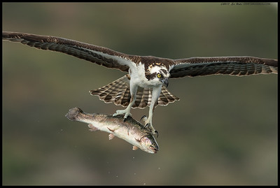 This Osprey picked up a rainbow trout meal to go then carried it literally straight over our heads as if to show of the catch.