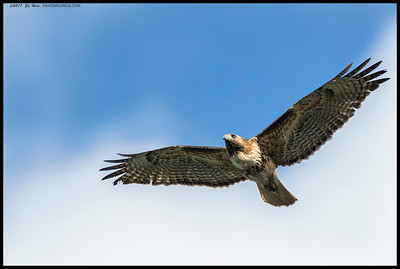 Red Tailed Hawk soaring over the edge of the lake.