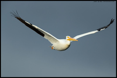 Sun shining on the White Pelican and dark clouds in the background.