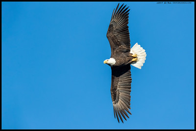 It might have been windy today but that didn't stop the Bald Eagles from flying.