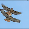 This pair of Red Tail Hawks has obviously been watching the Blue Angels demo team, practicing formation flying with the one up, one down maneuver.