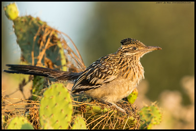 Juvenile Greater Roadrunner watching the sun drop behind the mountains.