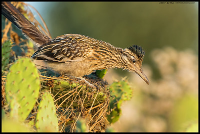 Juvenile Greater Roadrunner posed for me in the cactus.