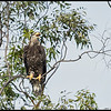 This juvenile Bald Eagle wasn't very happy with the Ospreys making runs at it.