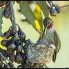 Anna's Hummingbird feeding one of the pair.