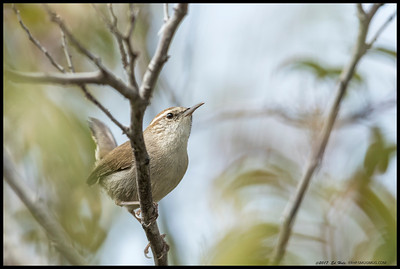 A Bewick's Wren took a moment out of its busy schedule to pose for me.