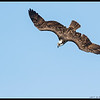 """I feel the need, the need for speed!""  Osprey in a dive."